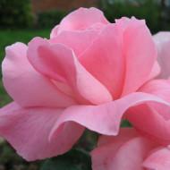 Trandafir Polyantha Queen of England, butasi de trandafiri cu flori mari, elegante, de culoare roz deosebit de fin, Yurta