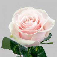 Trandafir Teahibrid Mondial (1 butas in ghiveci 2 l), cu flori duble de culoare roz discret cu umbre verzi si petale incretite usor, butasi de trandafiri