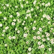 Trifoi Alb (1 kg) Seminte de Trifoi Alb Pitic Calitate Superioara Trifoi Alb, Florian