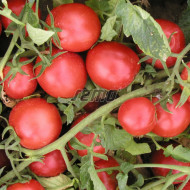 TRITONEX seminte tomate (10000 sem) soi tomate de camp timpurii, fructe medii, uniforme, coacere concentrata, planta compacta si foarte productiva, Semo Cehia
