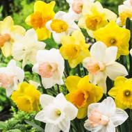 Trumpet Mixed (5 bulbi), narcise colorate mix, bulbi de flori