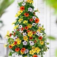 Tunbergia - Seminte Flori Tunbergia Planta anuala Cataratoare de la Florian