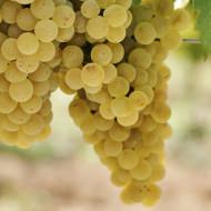 Vita de vie Mustoasa de Maderat, butas de vita de vie soi romanesc din Banat, cu struguri galbeni din care se obtin vinuri albe proaspete, cu o aromă fructată puternică și cu aciditate ridicată, Yurta
