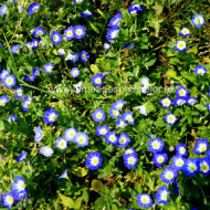 Zorele pitice albastre (1 gram) seminte de flori planta anuala, Agrosem