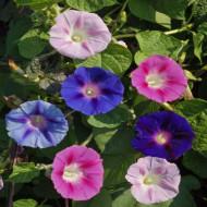 Zorele urcatoare mix (2 g), seminte de zorele intr-un amestec superb de culori, Opal