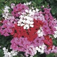 Muscata curgatoare Mixed - Seminte flori curgatoare Planta Perena de la Opal