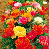 Mac Californian sau Esoltia (0.4 grame) seminte de flori de mac duble sau simple, mixtura, Agrosem