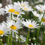 Margarete albe (0.4 grame) seminte de flori, Agrosem