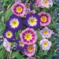 Zorele pitice mix (1 gram) seminte de flori planta anuala, Agrosem