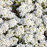 Alyssium alb (0.5 g), planta perena cu inflorescente albe, globulare, foarte atractive, Horti Tops