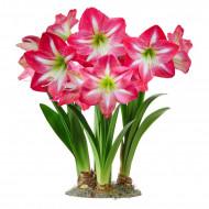 Amaryllis Exposure (1 bulb), crinul de camera, floare culoare roz intens cu alb, bulbi de flori