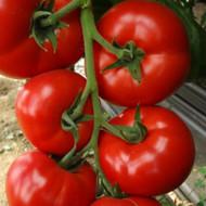 Amerigo F1 (1000 seminte) tomate extratimpurii nedeterminate, Sakata