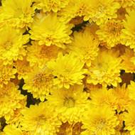 Amestec flori anuale galbene (0,5 g), seminte de flori anuale galbene, Agrosem