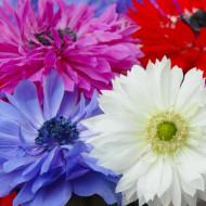 Anemone St. Brigid Mix (10 bulbi), anemone viu colorate, bulbi de flori
