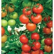 Antalya Rn F1 - 500 sem - Seminte de tomate cu crestere nedeterminata ce prezinta productivitate si rezistenta ridicata de la Yuksel
