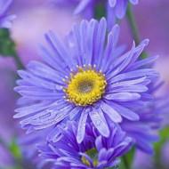Aster albastru (0,1 g), seminte de Ochiul Boului cu flori stelate ,colorate in albastru cu centrul galben, Agrosem