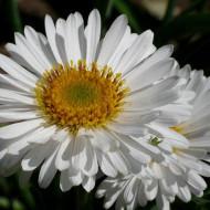 Aster alpinus White (in ghiveci de 1 L), rasad de Ochiul Boului cu flori albe cu centrul galben