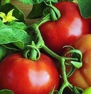 BALKAN F1 - 0.5 gr - Seminte Tomate Balkan Extratimpurii pentru sere si camp de la Geosem