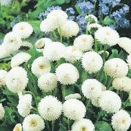 Banutei albi (0.1 grame) seminte de flori planta anuala cu multe ramificatii, Agrosem