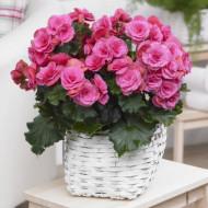 Begonie Double Pink (3 bulbi), floare mare dubla, culoare roz, bulbi de flori