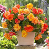 Begonie Golden Balcony (3 bulbi), floare mare, culoare galben cu portocaliu, bulbi de flori