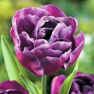 Blue Diamond (8 bulbi), lalele cu petale violet inchis asemanatoare trandafirilor, bulbi de flori