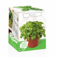 Busuioc - Kit plante aromatice