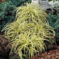 Carex Evergold (ghiveci 1,5 l), planta perena ornamentala rogoz, culoare verde-aurie