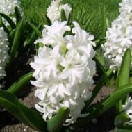 Carnegie (3 bulbi), zambile albe parfumate, bulbi de flori
