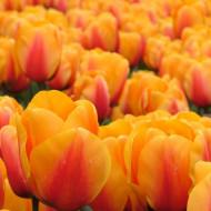 Cash (8 bulbi), lalele portocaliu cu rosu, bulbi de flori