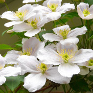 Clematita Marie Boisselot, tufa ornamentala cataratoare Clematis, cu flori mari, de un alb pur si stamine aurii , Yurta