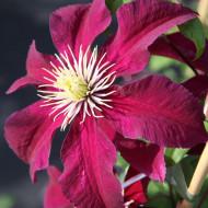 Clematite Niobe (ghiveci 2 L), tufa ornamentala cataratoare Clematis, flori mari, catifelate, colorate in nuante de rosu-rubiniu, stamine galbene