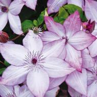 Clematite Utopia (ghiveci 2 L), tufa ornamentala cataratoare Clematis, flori stelate roz-zmeuriu cu roz-violet