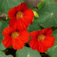 Condurul Doamnei rosu (9 seminte), seminte de Papucul Doamnei, plante anuale de culoare rosie, Agrosem