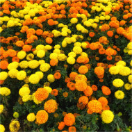 Craite inalte mix (0.8 g) seminte de craite cu flori mari galbene si portocalii (Tagetes erecta), Opal