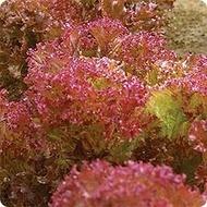 Crimson - 2 gr - Seminte de Salata Crimson tip Lolo Roso de la Florian Bulgaria