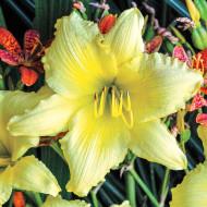 Crin Hemerocallis Big Time Happy (ghiveci 1,5 L), crin de o zi cu flori mari, gofrate, galben luminos