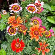 Crizantema - Tufanica mix (1 g), seminte de crizanteme intr-un amestec de culori stralucitoare, Opal