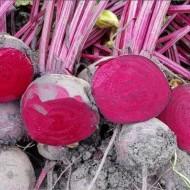 CRX 404 - 10.000 sem - Seminte de sfecla rosie cu perioada de vegetatie de 90 de zile foarte productiva rezistenta la boli si este destinata consumului in stare proaspata si industrializare de la Cora Seeds
