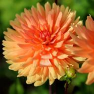 Dalie Noordwijks Glorie (1 bulb), floare culoare portocalie, bulbi de flori