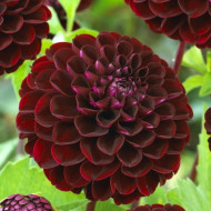 Dalie Pompon Dark Red (1 bulb), culoare rosu cu negru, deosebita, bulbi de flori