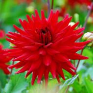 Dalie Red Pigmy (1 bulb), flori rosii, semi-cactus, bulbi de flori