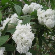 Deutia Candidissima, arbust decorativ hibrid cu flori parfumate, cu mai multe randuri de petale albe cu tenta roz, Yurta
