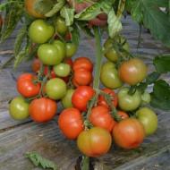 Devonet F1 (500 seminte), seminte rosii crestere semideterminata extratimpurii, Syngenta