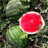 Eros F1 - 500 sem - Seminte de pepene verde tip Crimson cu fruct rotund miez rosu greutate de 10-12 kg ce se preteaza pentru cultivare in tunel si in camp deschis de la Esasem