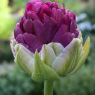 Exquisit (8 bulbi), lalele mov deosebite, bulbi de flori