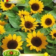 Floarea Soarelui Orange - Seminte Flori Floarea Soarelui Orange de la Florian