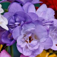 Frezii Double Purple (10 bulbi), flori de culoare violet, parfumate, duble, gofrate, bulbi de flori