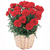 Garoafe Chabaud rosii (0.2 grame) seminte de garoafe rosii, cu flori mari, Agrosem