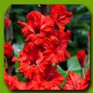 Gladiole Fire Ruffle (7 bulbi), gladiole cu flori mari, bogate, de culoare rosu stralucitor, bulbi de flori